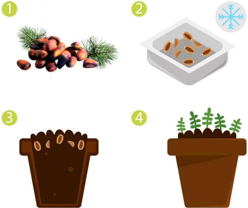 Как можно вырастить кедр из орешка в домашних условиях