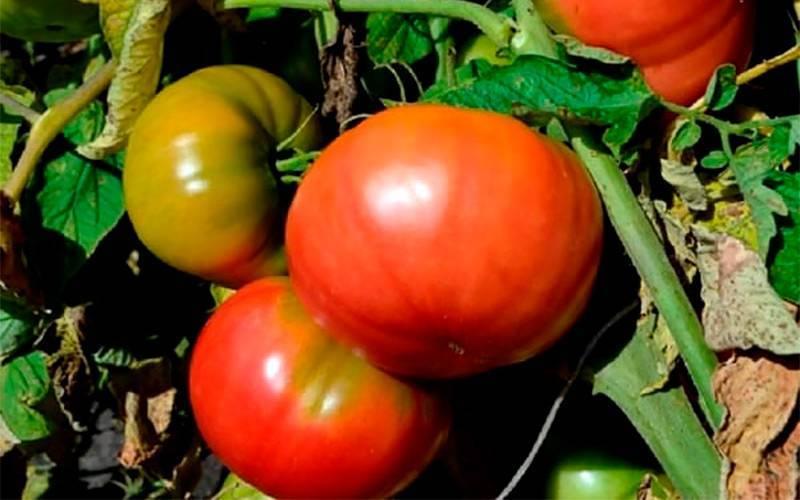 Описание сорта томата Бизнес-леди, его характеристика и уход