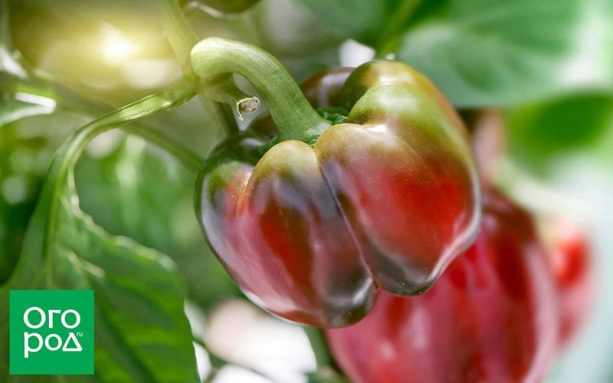 С чем можно сажать помидоры и перец в теплице