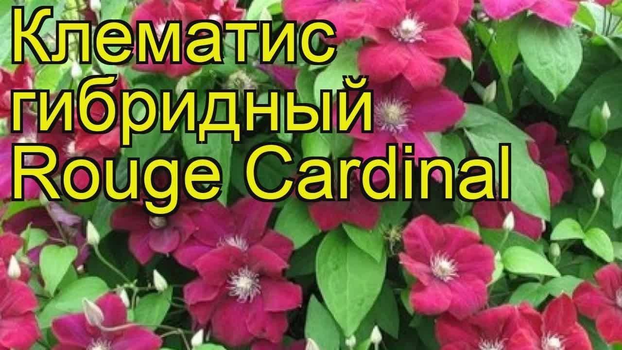Клематис кардинал вышинский: фото и описание