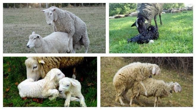 Как проходит окот у козы? всё, что нужно знать фермеру!