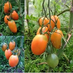 Выращивание томата золотая рыбка