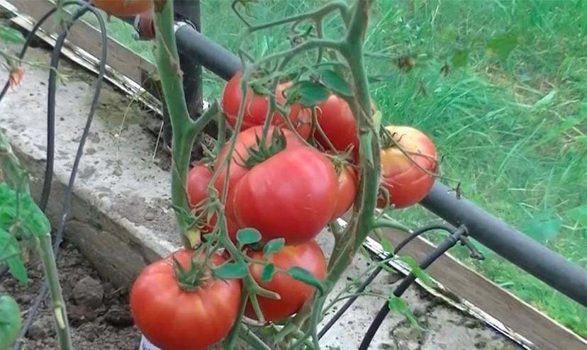 Вкуснейший помидор с огромными плодами — томат «чудо земли»