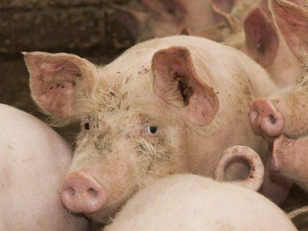 Цистицеркоз свиней: описание и симптомы финноза, методы лечения