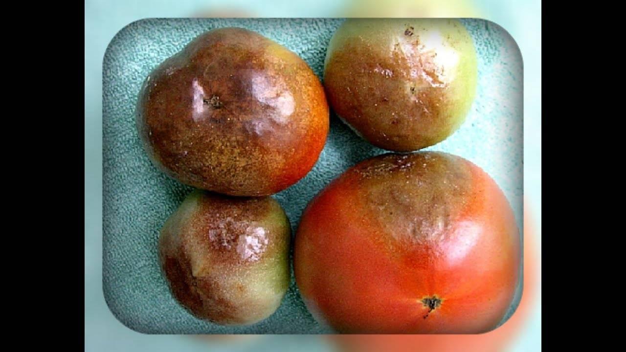 Что делать если чернеют помидоры
