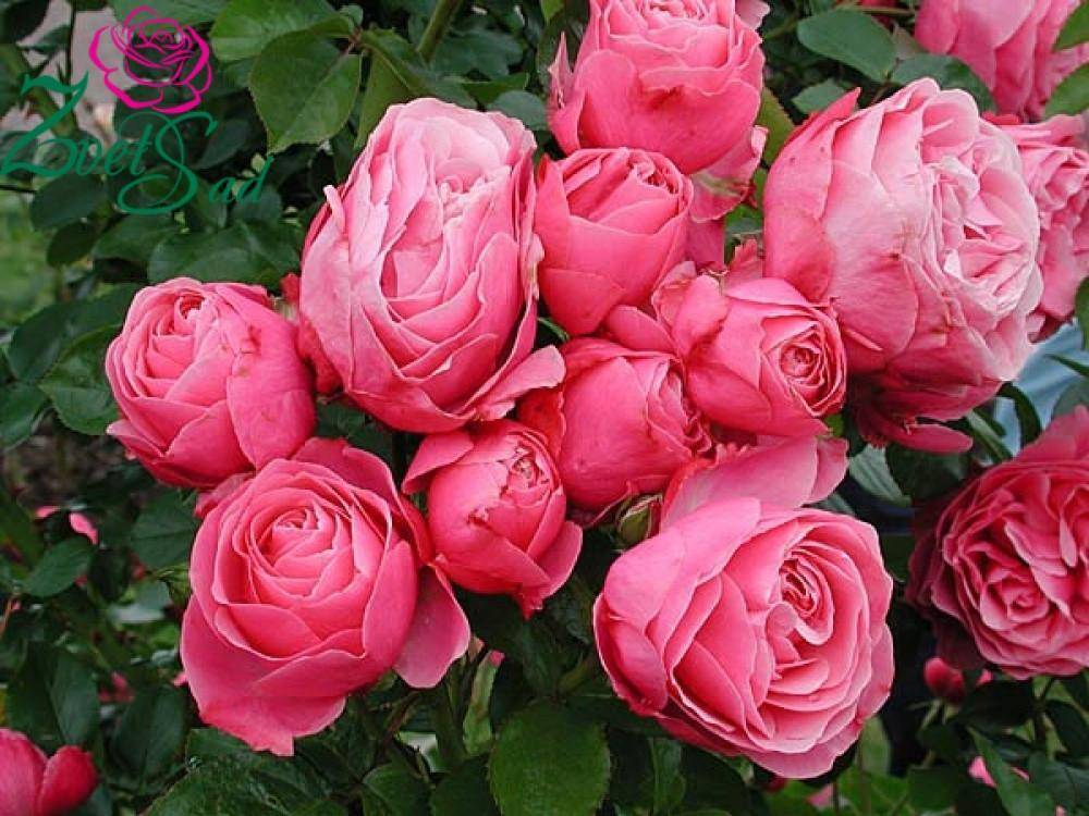 Роза леонардо да винчи: особенности сорта, 4 правила выращивания и ухода