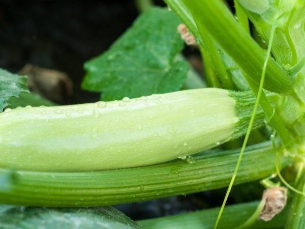 Причины пожелтения и скручивания листьев у кабачков