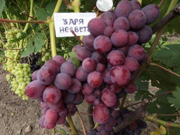 Виноград «заря несветая»: характеристика сорта, особенности, достоинства и недостатки
