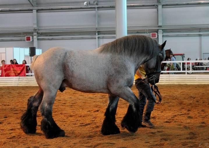 Сколько весит взрослая лошадь