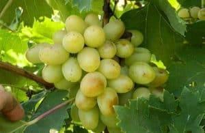 Виноград сорта анюта: особенности ухода и выращивания