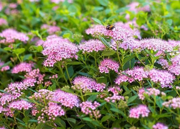 Спирея: описание выращивания в саду, виды и сорта