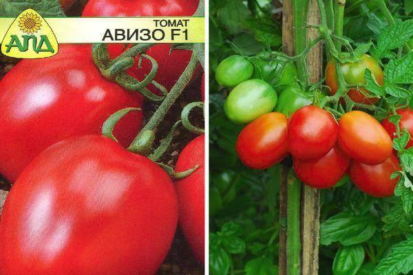 Вкусный привет из сибири — томат «земляк»: характеристика, описание сорта помидор и их фото