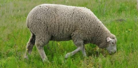 Лучшие породы овец: характеристика видов, особенности их содержания