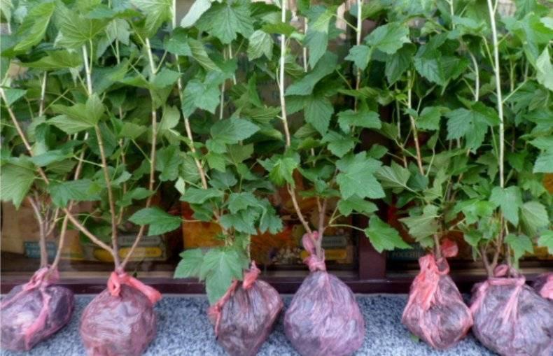 Сорт черной смородины «дачница»