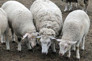 Выгодная в разведении асканийская порода овец