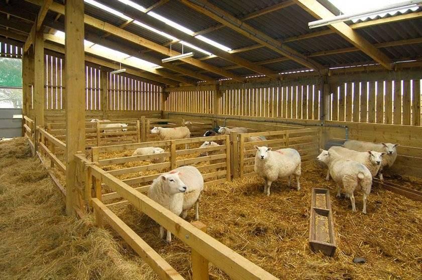 Сколько лет живут козы и как продлить их срок жизни?