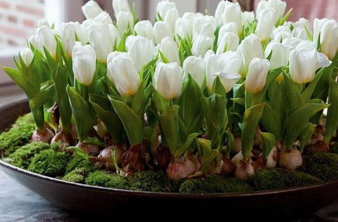 Когда высаживать луковицы крокусов весной. когда и как сажать крокусы
