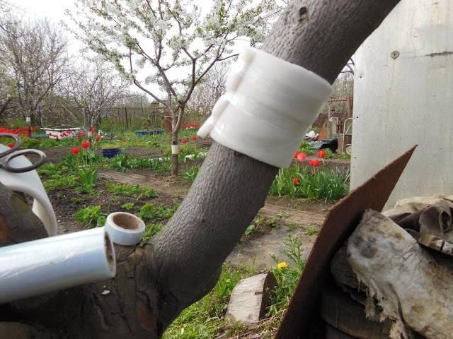 Ловчие пояса для яблонь — защита от вредителей