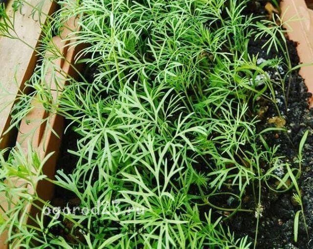 Как выращивать укроп на подоконнике в квартире зимой с видео