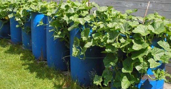 Огурцы, посаженные в бочке: особенности эффективной технологии выращивания