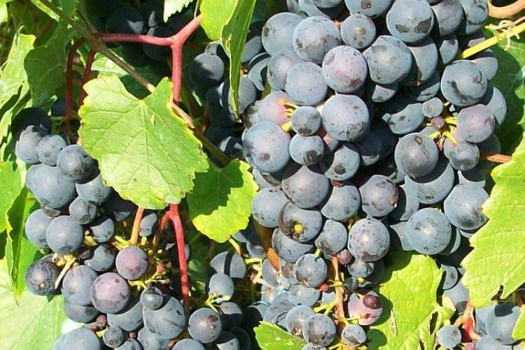 Морозостойкие сорта винограда: элегия, блубелл, фронтильяк адамина, жемчуг розовый и другие