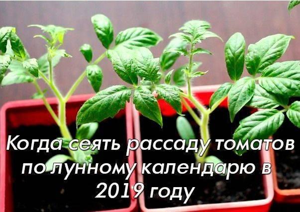 Когда сажать помидоры на рассаду в 2021 году в подмосковье