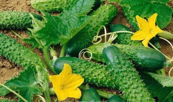 Огурцы партенокарпические: сорта для открытого грунта