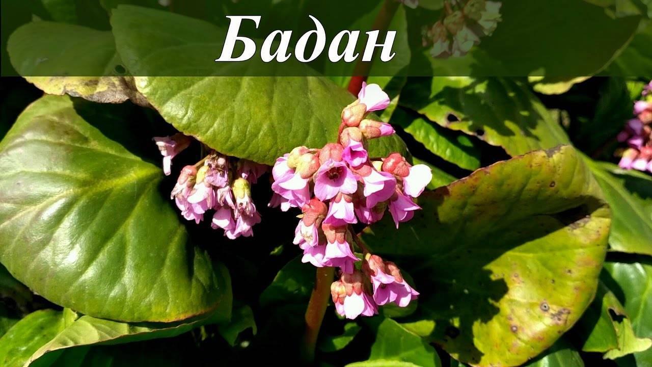 Лечебные свойства и противопоказания бадана, применение цветка и листьев