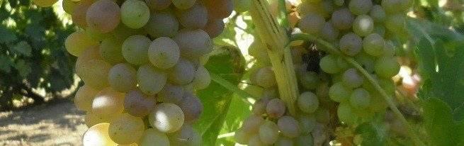 Чем обработать виноград в июне от болезней и вредителей: средства для опрыскивания и защиты