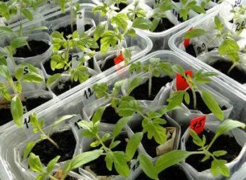 Как вырастить рассаду помидоров в пеленках