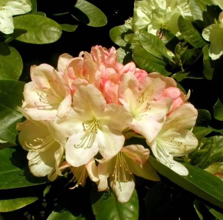 Описание сорта рододендрона Хеллики, уход и выращивание за цветком
