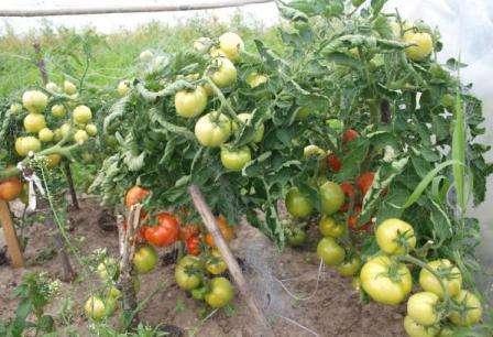 Томат «анастасия»: полное описание сорта и особенности выращивания, характеристики помидоров и фото