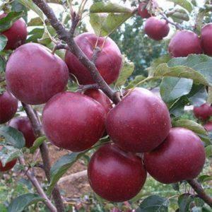 Описание и характеристики сорта яблони юбиляр, посадка, выращивание и уход