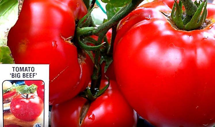 Томат памяти корнеева: характеристика и фото, урожайность сорта