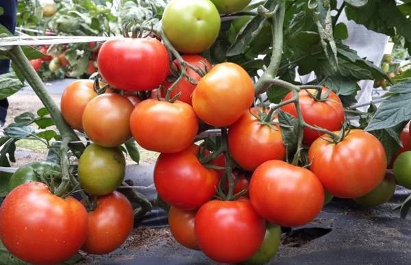 Перспективный гибрид для открытого грунта — томат настена: описание сорта с советами о выращивании