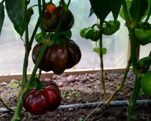 Оригинальные томатоподобные сладкие и острые перцы — гогошары: описание и характеристика сорта