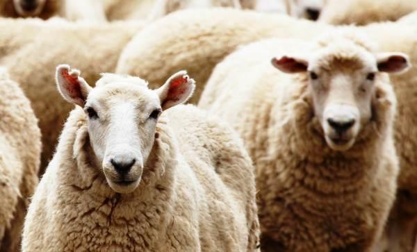 Лечение болезней копыт у коров: основные рекомендации, правила профилактики