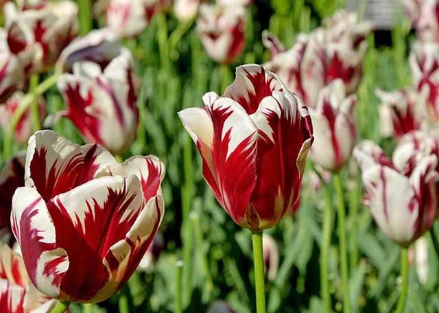 Растение тюльпан: ботаническая характеристика и строение