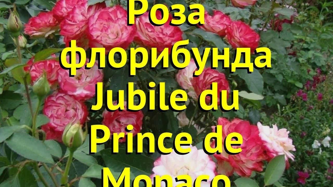 Описание розы сорта Юбилей принца Монако, правила посадки и ухода