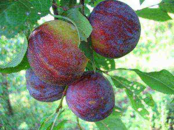 Слива утро: описание популярного сорта плодовых деревьев, правила и особенности выращивания