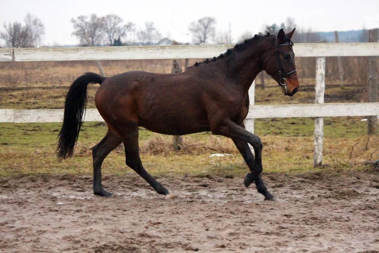 Описание и характеристика орловской породы лошадей, особенности содержания