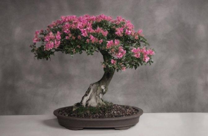 Магалебская вишня (антипка): выращивание и уход