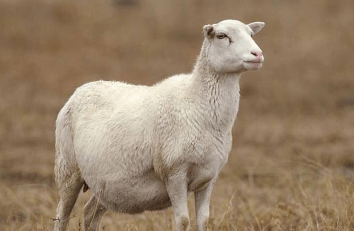 Сколько времени овца вынашивает ягненка?