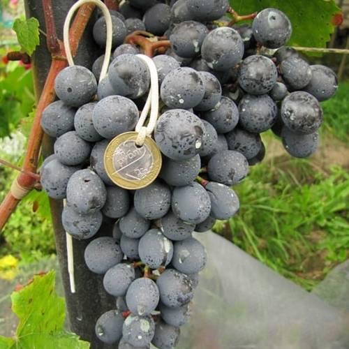 Виноград агат донской: характеристика и описание сорта
