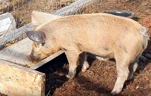 Откорм поросят на мясо в домашних условиях, чем кормить поросят
