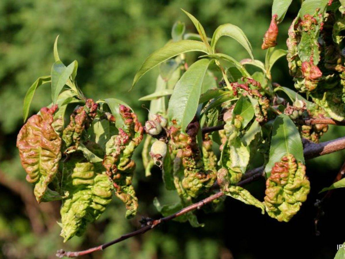 Лечение болезней и борьба с вредителями персика