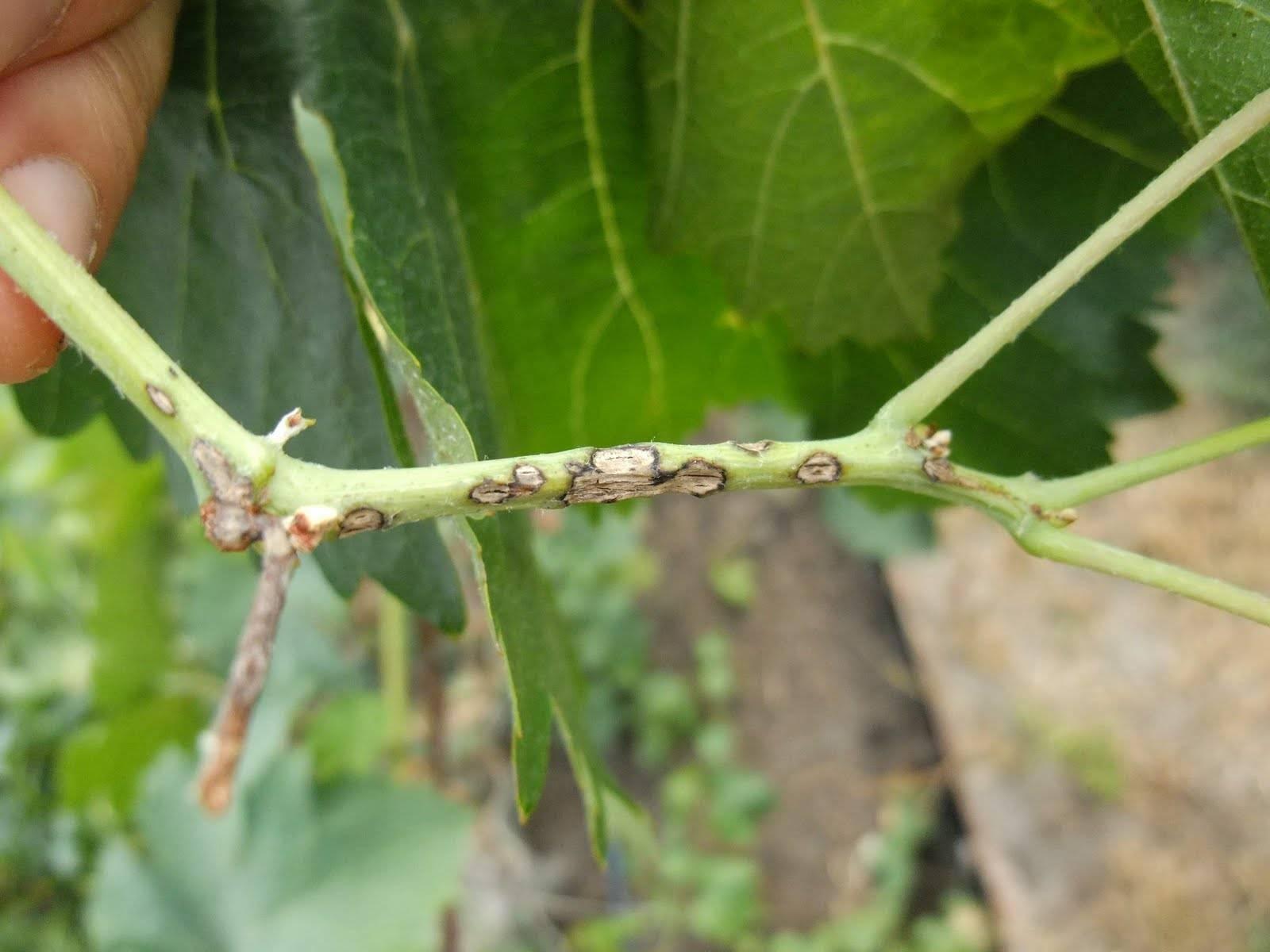 Пятна на листьях винограда