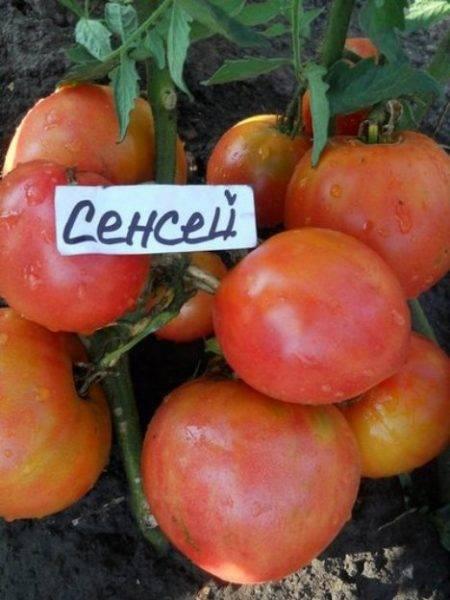 Характеристика и описание сорта томата Сенсей, его урожайность