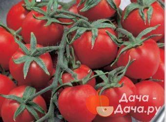 Холодоустойчивый крупноплодный томат вельможа: описание и особенности выращивания