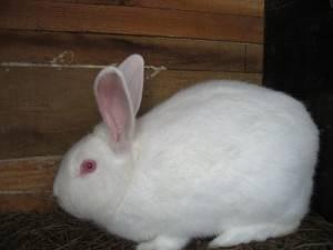 Белый кролик паннон: распишем главное